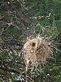 Birdnests in Tanzania 2219 Nevit.jpg