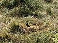 Birds from Nepal at Chitwan (1).jpg
