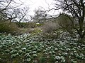 Birkinlane Farm - Snowdrops Galore - geograph.org.uk - 346264.jpg