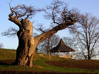 Royal National City Park - Old oaktree in Djurgården