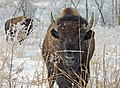 Bison at Neal Smith National Wildlife Refuge (25067150355).jpg
