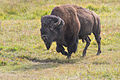 Bison in Hayden Valley.jpg
