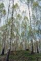 Bjørkeplantefelt 02.jpg