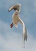 Black-Headed Gull in flight 140810 1.jpg