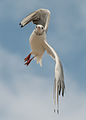 Black-Headed Gull in flight 140810 1.jpg