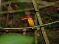 Black-backed Kingfisher (Ceyx erithacus) (15466046268).jpg