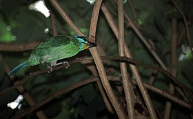 Black-browed Barbet (Megalaima oorti) (7936862646).jpg