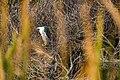 Black-crowned night heron (31543243922).jpg