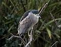 Black-crowned night heron (61317).jpg