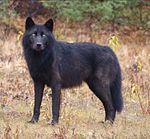 Black Canis lupus.jpg