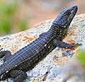 Black Girdled Lizard (Cordylus niger) (32796586262).jpg