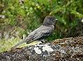 Black Phoebe Sayornis nigricans - Flickr - gailhampshire (1).jpg