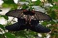 Black butterfly's (9458884119).jpg