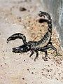 Black scorpion (31454574751).jpg