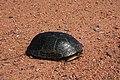 Blanding's Turtle (34846446226).jpg