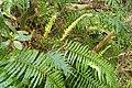 Blechnum novae-zelandiae kz15.jpg