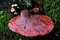 Bleeding Fistulina hepatica (GB= Beefsteak polypore fungus or Ox Tongue, D= Leberreischling, auch Leberpilz oder Ochsenzunge, F= Langue de bœuf, NL= Biefstukzwam) with juice (gleba) on top of it in wich the spores are - panoramio.jpg