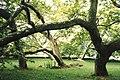 Blickling Hall Trees - geograph.org.uk - 1201744.jpg