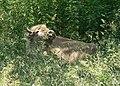 Blonde Bison 6.22.2008.jpg