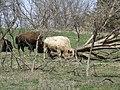 Blonde bison 2.jpg