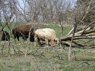 White buffalo - A white buffalo at the Lee G. Simmons Conservation Park and Safari in Ashland, Nebraska. This animal is not a true white buffalo, being 1/16 Charolais cattle. It is expected that its coat will darken as it matures.