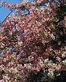 Blossom, Meadfoot Road, Torquay - geograph.org.uk - 2354939.jpg