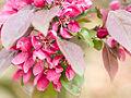 Blossom (9026926511).jpg