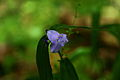 Blue-forest-flower-macro-bright-background - West Virginia - ForestWander.jpg