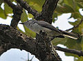 Blue Gray Gnatcatcher (7435856530).jpg