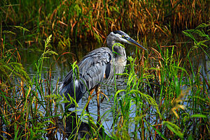 Lake Woodruff National Wildlife Refuge - Image: Blue Heron 01 LWNWR
