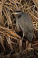 Blue Heron (2256144691).jpg