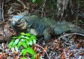 Blue Iguana on Wilderness Trail at QEII Botanic Park.jpg