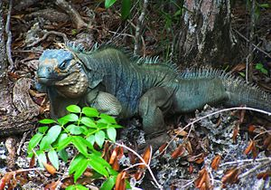 Blue iguana - Blue iguana in forest off Wilderness Trail in Queen Elizabeth II Botanic Park, Grand Cayman