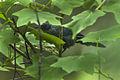 Blue Mockingbird - Sinaloa - Mexico S4E1106 (17200310691).jpg