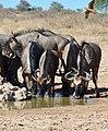 Blue Wildebeests (Connochaetes taurinus) drinking ... (50914417566).jpg
