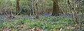 Bluebell Wood 2 (6969986810).jpg