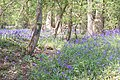 Bluebells - geograph.org.uk - 425771.jpg