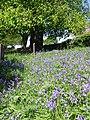 Bluebells at Brailsford Church - geograph.org.uk - 488632.jpg