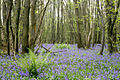 Bluebells at Well Wood, Kent, U.K.jpg