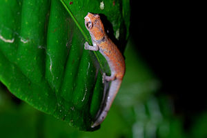 English: An Amazon Climbing Salamander (Bolito...