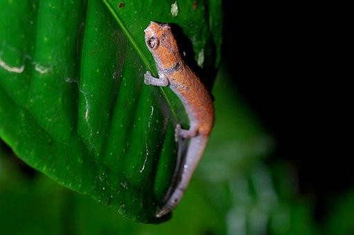 salamandra amazonica, anfibios del amazonas
