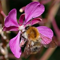 Bombus pascuorum female 2 (aka).jpg