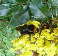 Bombus vestalis. - Flickr - gailhampshire.jpg