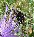 Bombyliidae - Flickr - gailhampshire.jpg