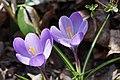 Bonfeld - blühende violette Krokusse im Pfarrhausgarten - 1.jpg