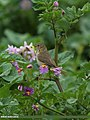 Booted Warbler (Iduna caligata) (15869786706).jpg