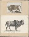 Bos bison europaeus - 1700-1880 - Print - Iconographia Zoologica - Special Collections University of Amsterdam - UBA01 IZ21200155.tif