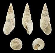 Bostryx cf. lesueureanus 01.JPG