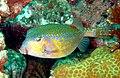 Boxfish - Ostracion immaculatus (2293337966).jpg