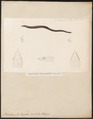 Brachymeles bonitae - 1700-1880 - Print - Iconographia Zoologica - Special Collections University of Amsterdam - UBA01 IZ12600059.tif